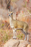 Klip Springer Stock Images