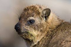 Klipdas, Rock Hyrax, Procavia capensis stock photo