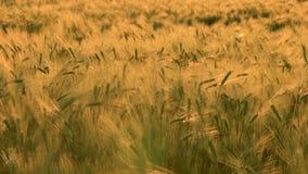 Klipp 4K des Weizen- oder Gerstenfeldes, das im Wind bei Sonnenuntergang oder Sonnenaufgang durchbrennt stock footage