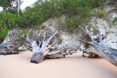 Klipp ner stammar och rotar av träd på Sandy Beach - rest av skada som orsakas av tsunamin - klimatförändring - skogsavverkning royaltyfria bilder