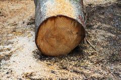 Klipp nytt trädstammen med sågspån på jordningen Royaltyfria Bilder