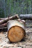 Klipp nytt trädstammen med sågspån på jordningen Arkivfoto