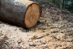 Klipp nytt trädstammen med sågspån på jordningen Royaltyfri Bild