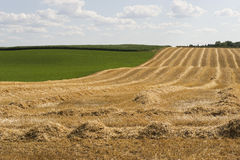 klipp nytt wheatfielden royaltyfria bilder