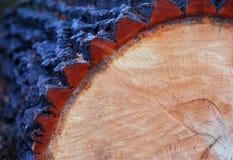 Klipp oakstammen Arkivbild