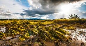 Klipp risfältfältet Arkivbild