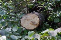 Klipp stammen av det stupade trädet i skogen Royaltyfri Bild
