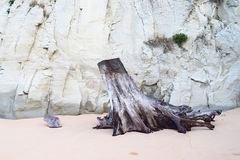 Klipp stammen och rotar av träd på Sandy Beach mot bakgrund av kalksten vaggar - rest av skada som orsakas av tsunamin - abstrakt arkivbilder