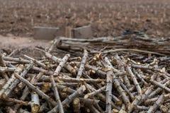 Klipp tapiokastammar som är klara att planteras arkivbilder