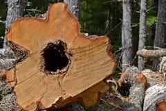 Klipp träd Arkivbild
