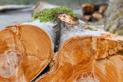 Klipp trädstubbar i skogen Royaltyfria Foton