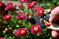 Klippa död överskrift, Bellis Perennis Rose Red Double Daisy arkivbild