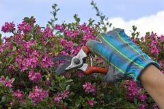 Klippa en blommandebuske arkivfoto