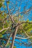 Klippa ett högväxt sörja trädet Arkivfoto