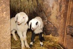 Klippande får för fårull för ullgarner Royaltyfri Foto