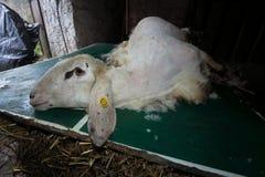 Klippande får för ull för ullgarner Royaltyfria Bilder