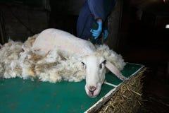 Klippande får för ull för ullgarner Royaltyfri Fotografi