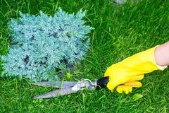 Klippande gräs med sax Arkivbild