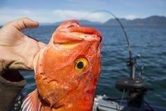 Klippenbarsch bei der Fischerei der Westküste gefangen stockbild