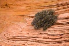 Klippenrose, die von den Sprüngen im roten Sandstein von Arizona wächst Stockfotos