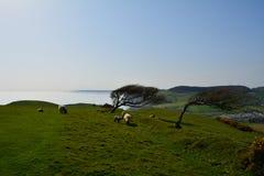 Klippenspitzenbäume und Schafe, Dorset, England Lizenzfreie Stockbilder