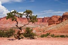 klippor sörjer den röda rocktreen för pinyon arkivfoto