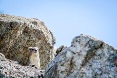 Klippschliefer, der auf Felsen sich aalt Stockbild