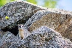 Klippschliefer, der auf Felsen sich aalt Stockfotografie