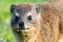 Klippschliefer no parque nacional de Tsitsikamma, África do Sul Fotografia de Stock
