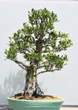 Klippt bonsaiväxt Arkivbild