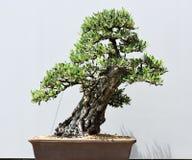 Klippt bonsaiväxt Arkivbilder