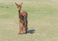 Klippt brun Alpaca Arkivfoton