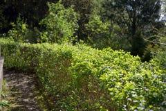 Klippt buskestaket i trädgård Arkivbild