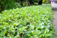 Klippt buskestaket i trädgård Arkivbilder