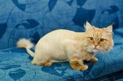Klippt kattsammanträde på soffan Royaltyfri Foto
