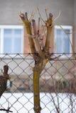 Klippt träd som är ingrowing in i ingreppsstaketet Arkivfoto