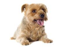 Klippt Yorkshire terrier Arkivfoton