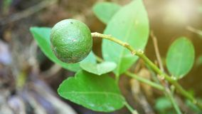 klippte svarta cirklar för bakgrund grön limefrukt royaltyfri foto