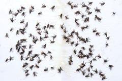 Klipsk limfälla Döda flugor som fångas på en limfälla arkivfoto