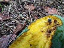 Klipsk mangomango Arkivfoton