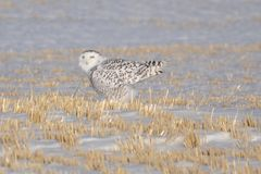klipsk owl som är snöig till Royaltyfria Bilder