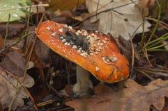 klipsk red för agaric Arkivfoton