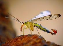 klipsk scorpion Arkivbilder