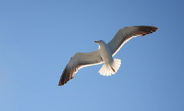 klipsk seagull Royaltyfria Foton