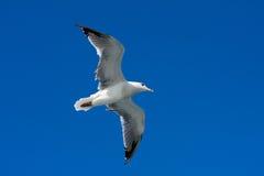 klipsk seagull för fågel Fotografering för Bildbyråer