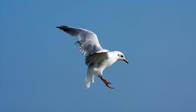 klipsk seagull för fågel Arkivfoto