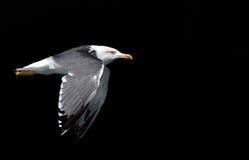 klipsk seagull för fågel Arkivbild