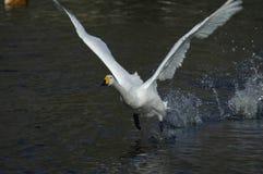 klipsk swan Arkivfoton