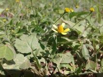klipsk yellow för blomma arkivfoton