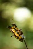 klipsk yellow för drake arkivbild